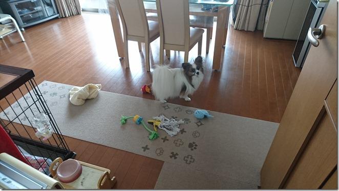 おもちゃを引っ張り出してきて散らかす愛犬パピヨンのアリア