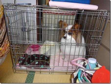 折り畳み式ケージに入る愛犬パピヨンのアリア