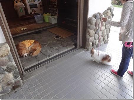 しぶごえ館山の玄関で寝ながらお出迎えしてくれる看板犬ゴールデンレトリーバーのバロン社長