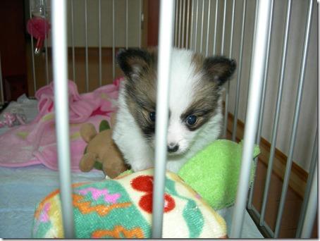 我が家に来たばかりの頃の愛犬パピヨンのアリア