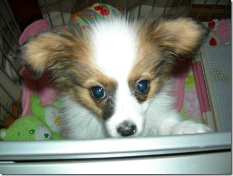 生後3か月の我が家の愛犬パピヨンのアリア
