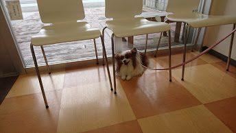 動物病院の床で動かなくなった我が家の愛犬パピヨンのアリア
