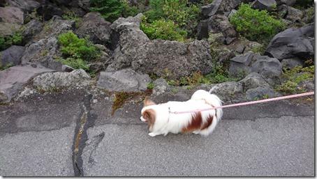 北軽井沢でペットと観光できる鬼押出し園遊歩道を歩く愛犬パピヨンのアリア