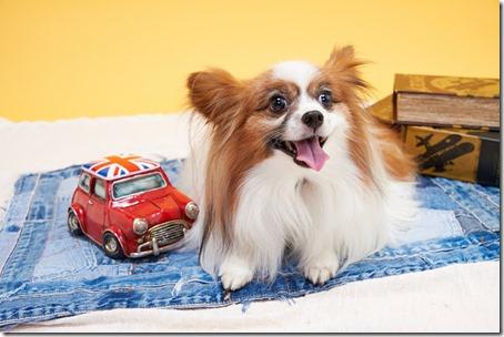 自動車のおもちゃに並んで写る我が家の愛犬パピヨンのアリア
