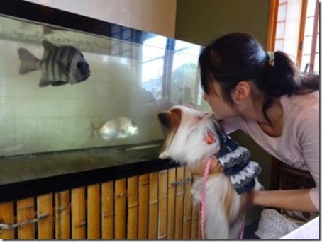 千葉県のペット同伴OKレストランの1つお寿司屋さんの鮨和の店内の水槽を眺める愛犬パピヨンのアリア