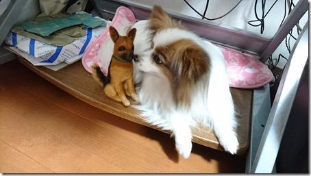 羊毛フェルトのシェパードにキスする我が家の愛犬パピヨンのアリア