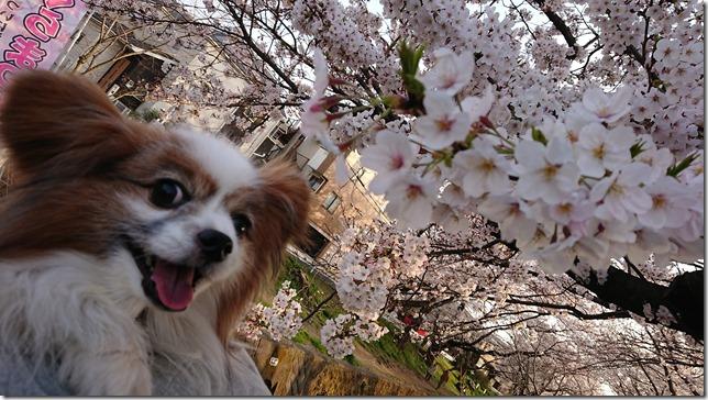 桜と我が家の愛犬パピヨンのアリア