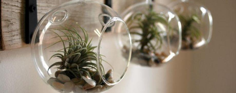 Amazing Hanging Air Plants Featured