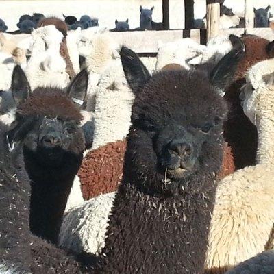 Importación-200-alpacas_Peru-2