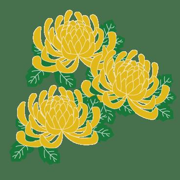菊のイラスト(PNG 背景透過)
