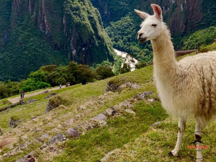 Alpacas grazing at Machu Picchu