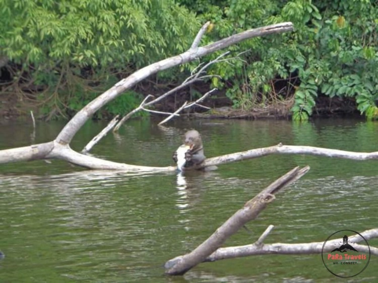 Giant otter eating in river