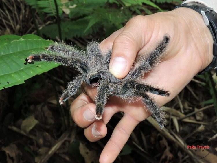Iquitos spider