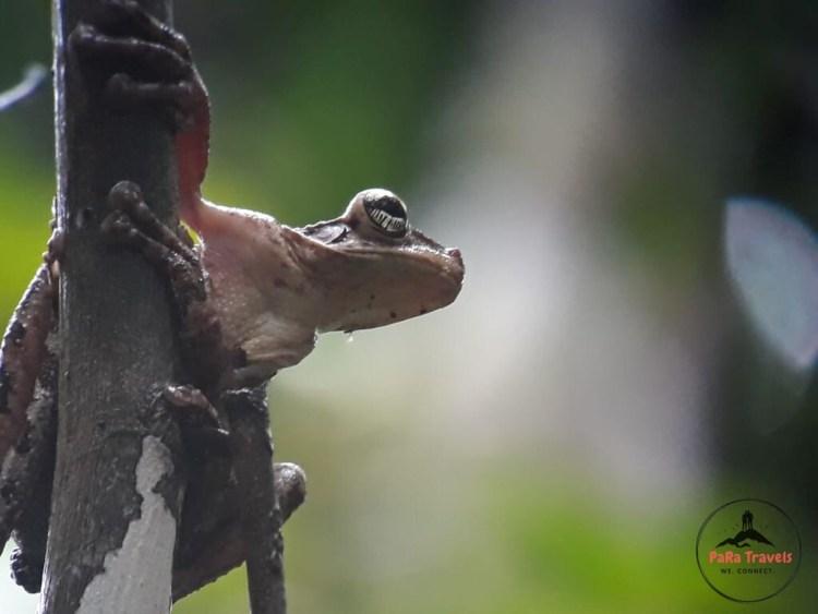 Tambopata frog close-up