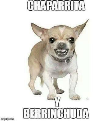 Memes chihuahua chaparrita