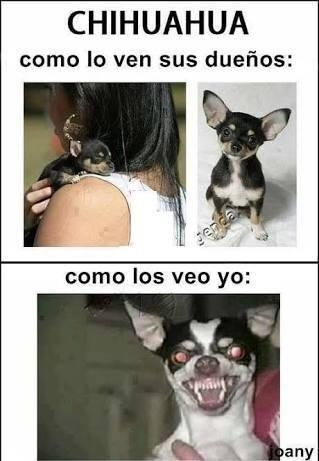 Memes chihuahua dueños