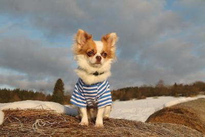 imagenes de perros chihuahua 17