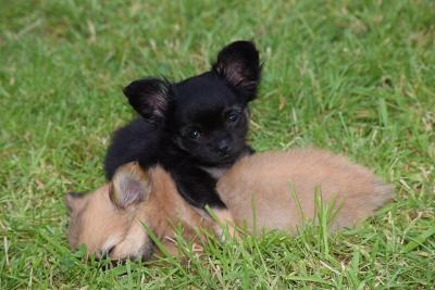 imagenes de perros chihuahua 2