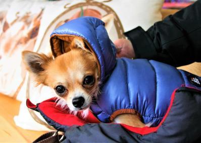 imagenes de perros chihuahua 21