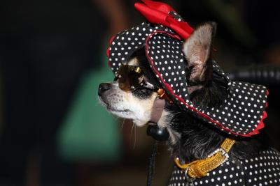 imagenes de perros chihuahua 28