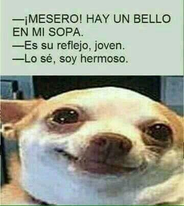 meme de chihuahuas 10
