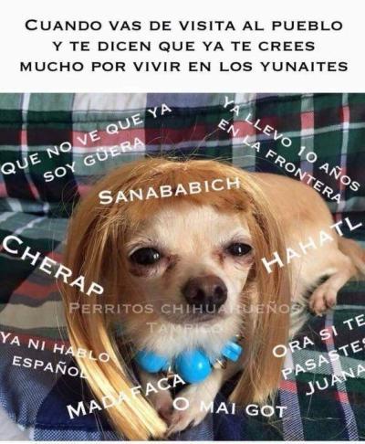 meme de chihuahuas 12