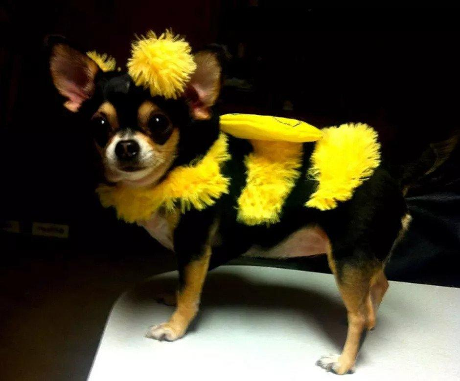 Chihuahua disfrazado de abeja
