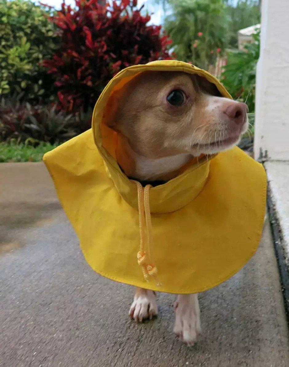 Chihuahua en chubasquero