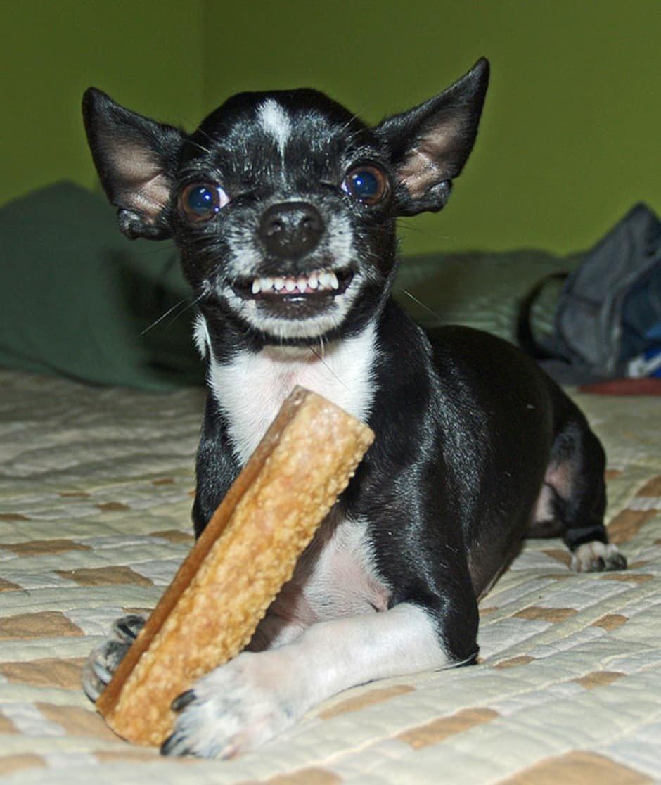 Chihuahua Enfadado
