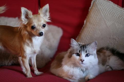 Los chihuahuas con gatos