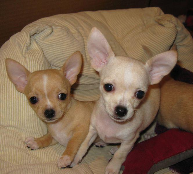cachorros de chihuahua
