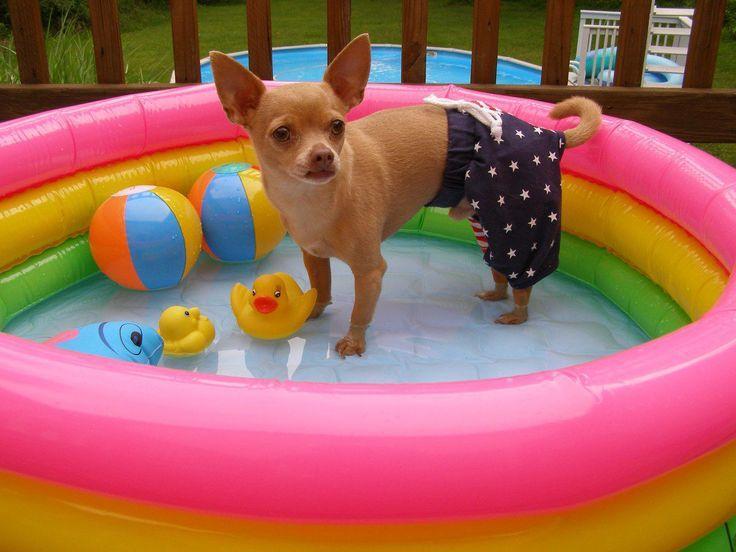 chihuahua en piscina