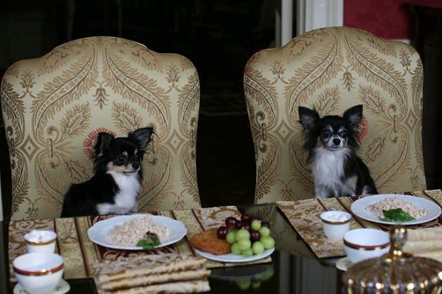 chihuahuas cenando