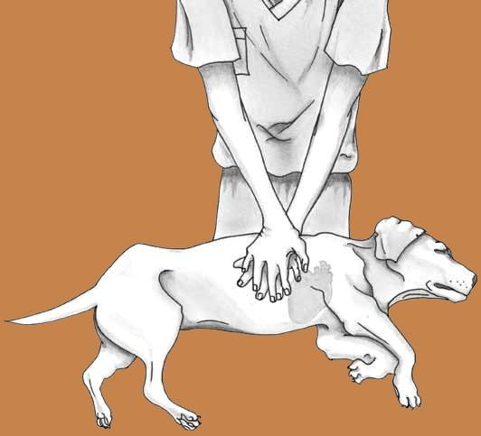 Como hacer RCP a tu chihuahua
