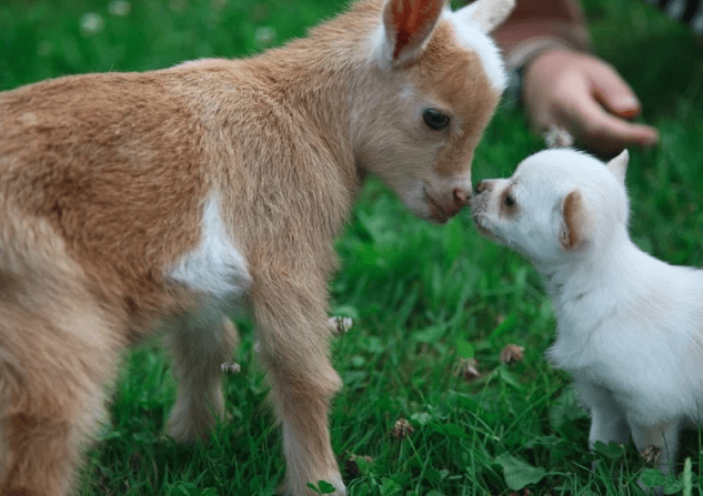 ¡Este chihuahua piensa que es una cabra!