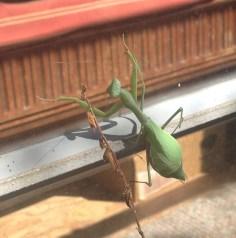 preying mantis cu