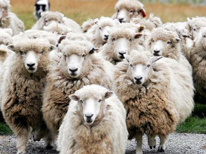 sheep-wallpaper-1