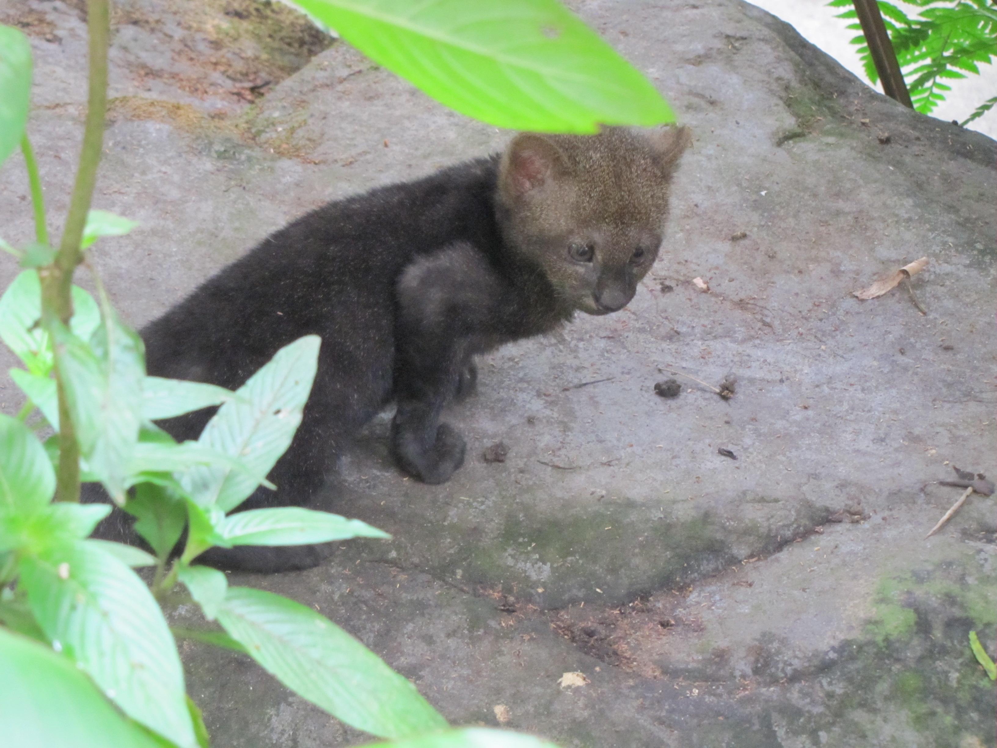 jaguarundi  Paradise Gardens Wildlife Rescue
