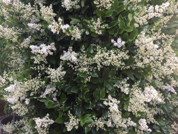 ligustrum japonicum texanum flowers