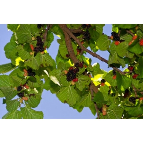 persian mulberry tree shahtoot