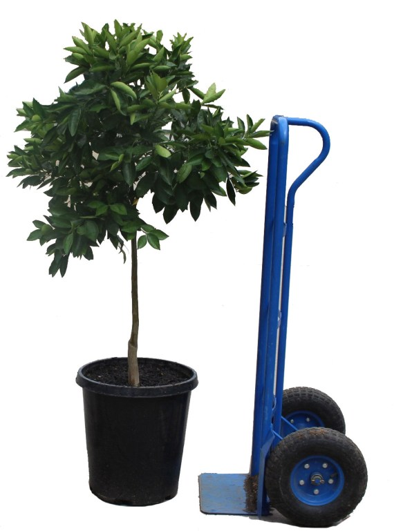 15-gallon Washington Navel Orange Potted Fruit Tree