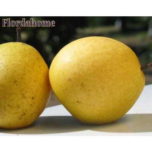 Flordahome pear