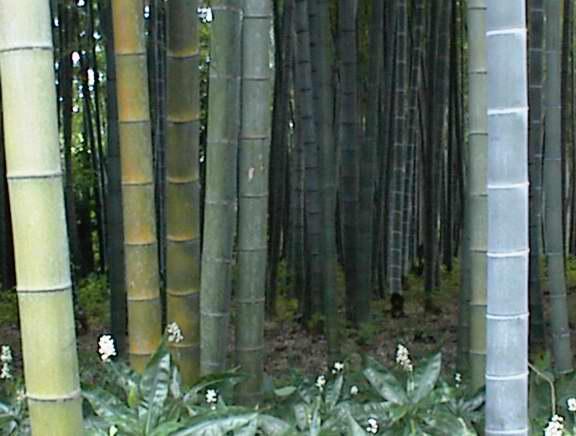 思潮竹 – 作者無名氏 Bamboo-A Parable (English & Powerpoint below)