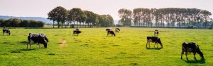 dairy cows grazing in farm field during dairy nutrition study