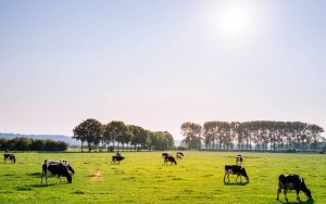 dairy nutrition cows grazing in field cchieving a high forage diet