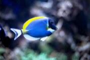 """Detectan depredación del pez """"cirujano acanthurus"""" en Islas Marietas"""