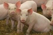 Virus porcino, una nueva amenaza para la salud mundial