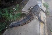 Encuentran cocodrilo decapitado en PV