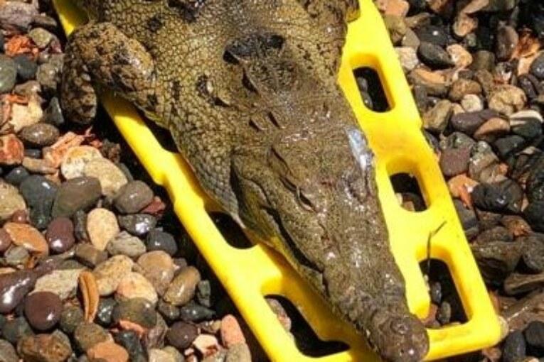 Sin ser operado, libera Medio Ambiente Municipal a cocodrilo atropellado