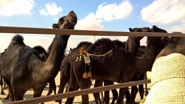 φεστιβάλ καμήλας (4)